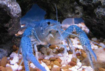 Niebieskie kraby: utrzymanie i hodowla, zdjęcia