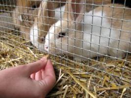 Mating Kaninchen: die Grundregeln. Mating Kaninchen. Die Vermehrung von Zierpflanzen Kaninchen