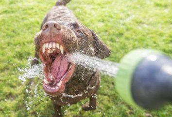 Pies pije dużo wody: Powód, stopa