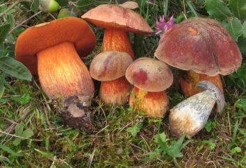 Prepare o poddubniki cogumelos?