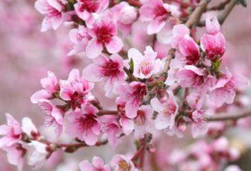 Fleurs de pomme: description, la structure, les photos