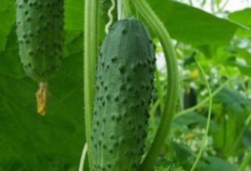Perché gorchat cetrioli e come prevenirlo?