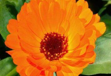 Marigolds fiori: una vasta gamma di applicazioni