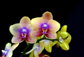 orchidée Exigeant: comme siège de fleurs
