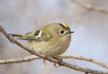 Oiseau korolok jaune-: description, poids, voix et faits intéressants