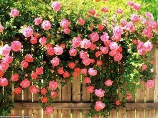 Trudging różę – gdzie i jak sadzić