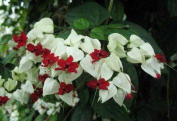 Fiori Clerodendrum: cure a casa, l'allevamento, le foto