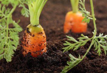 Welche Art von Boden liebt Karotte? Der Boden für Karotten und Rüben, Zwiebeln und Dill