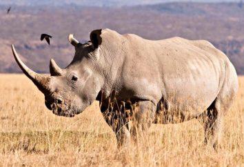 Życie biały nosorożec. Maksymalna waga białej Rhino
