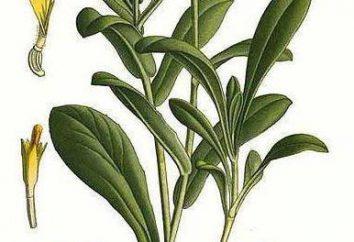 Calendula (nagietka): stosowany w medycynie ludowej
