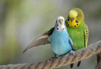Papużka falista posiłki: zrównoważona dieta, zwłaszcza rekomendacje i