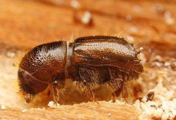 Beetle-Typografen – eine große Gefahr für die Nadelbäume