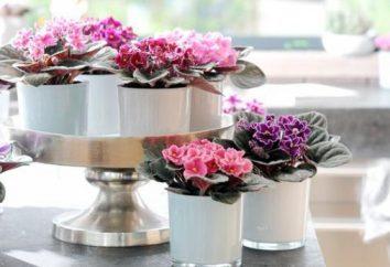 A composição necessária do solo para violetas de apartamentos