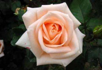 Fiore per i più romantici – rosa Osiana