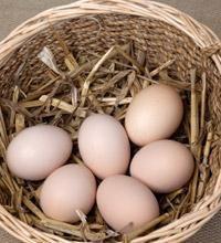poules pose Poulet: la race et de leurs caractéristiques