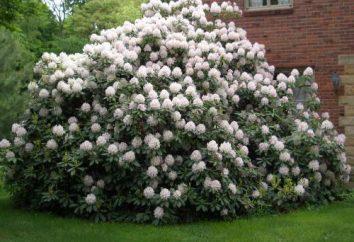 Rododendron: przygotowanie do zimy. Podstawowe zasady i wskazówki
