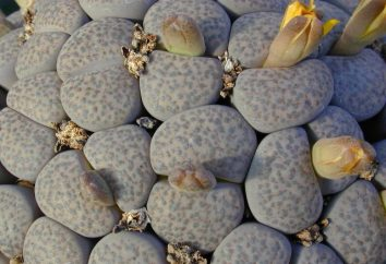 Flower Living Stones – ciottoli apparentemente ordinarie