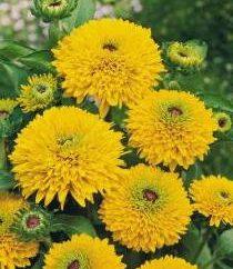 Golden Ball: kwiat z dzieciństwa
