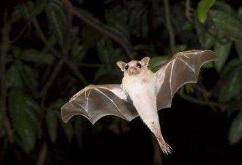Bat – es un pájaro o un animal? Especies de murciélagos y sus características