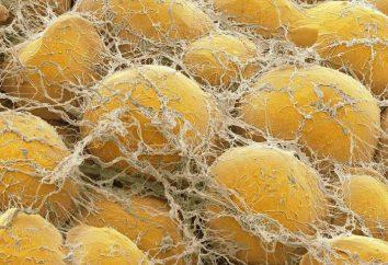 Tessuto grasso sottocutaneo: struttura e funzione