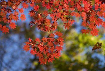 Maple lozhnoplatanovy: foto, descrizione