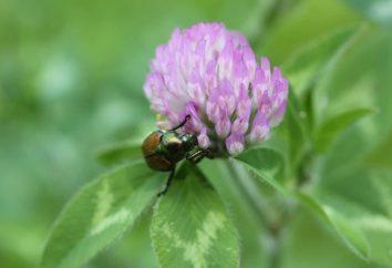 Herbácea leguminosa forrajera: los tipos más comunes