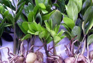 Zamioculcas: les feuilles jaunissent, ce qu'il faut faire?