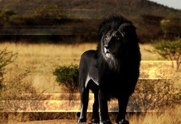 Gato increíble: Leones negros