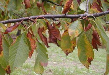 Moniliosis ou brûler des arbres fruitiers monilial: signes, photo. Comment traiter moniliosis