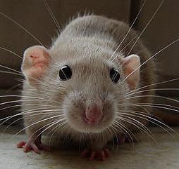Per uccidere i ratti in un sogno, cosa significa? Perché sognare di uccidere un ratto in un sogno?