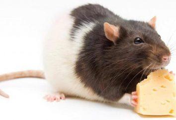Perché il sogno di un topo? Nel sogno, morso da topi: un'interpretazione
