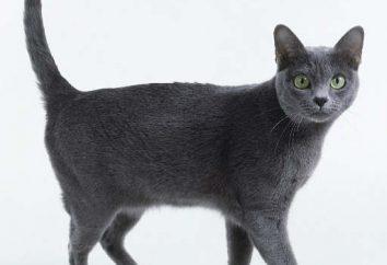 Korat – szczęście Cat