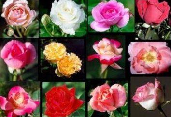 Comment enraciner une rose du bouquet? Quelques conseils