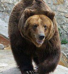Rosyjskie znaki: niedźwiedzia. Dlaczego symbol Miś z Rosji? Symbole Rosji – zdjęcie