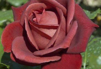 sen ogrodnika – Rose Terracotta