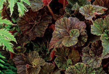 Begonia fleur – charmante décoration de la maison