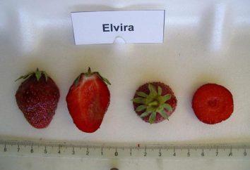Elvira Fresa: descripción de la variedad, comentarios