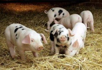 """Dlaczego sen o świni? Aby przygotować się na """"obrzydliwe""""?"""
