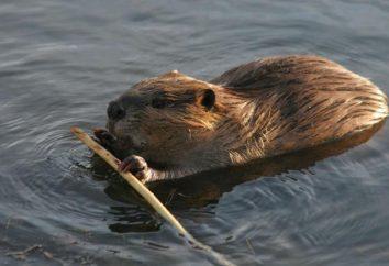 castor canadien: la taille, la nourriture, l'habitat et la description. castor canadien en Russie