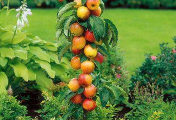Kolumnowych jabłonie: przycinanie i pielęgnacja, zdjęcia