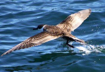 Puffin: le temps et le symbole des oiseaux de mer
