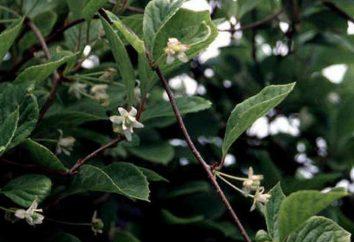 Schisandra (frutti di bosco): come utilizzare e proprietà utili