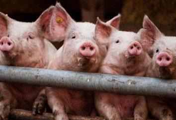 ¿Cómo construir un cobertizo para los cerdos? Consejos y fotos