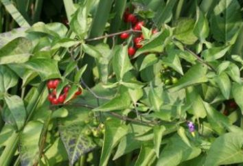 Solanum Dulcamara. Nightshade (berry) – foto