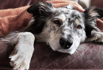 Cáncer en perros: síntomas y tratamiento