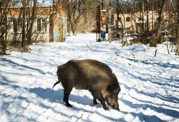 Zwierzęta Czarnobyl: życie po katastrofie