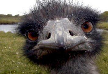 avestruz australiano: fotos, descrição e habitat