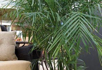 Verschiedene Arten von zu Hause Palmen – was wählen