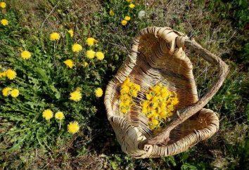 Mniszek – przydatne kwiaty. Przepis: Syrop Dandelion