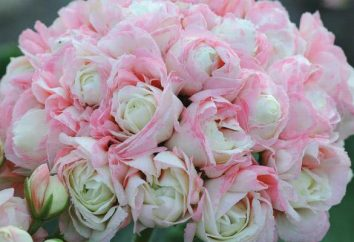 Rozebudnye Pelargonium: description et soins